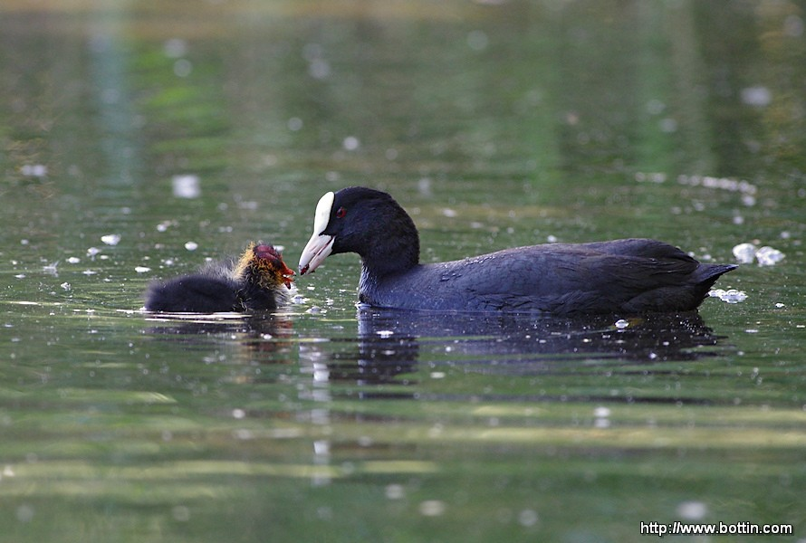 Coot feeds her chick
