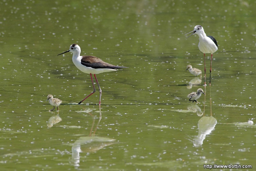 Black-winged Stilt Family