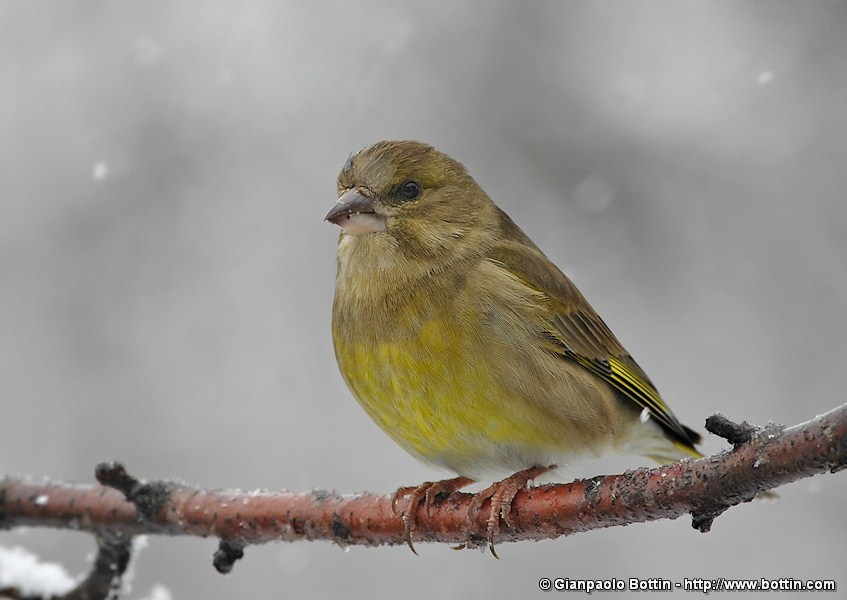 Greenfinch under snowfall